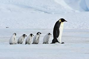 Фотографии Пингвины Детеныши Мать Семья Emperor Penguins животное