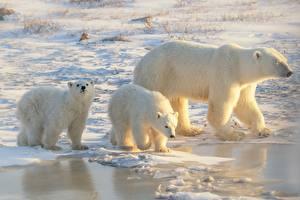 Фото Белые Медведи Мама Детеныши Трое 3 Лед Животные