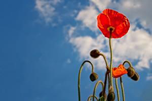 Картинка Мак Крупным планом Бутон Красные цветок