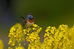 Картинка Рапс Птицы Боке Luscinia svecica Животные