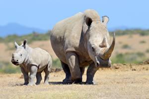 Картинка Носороги Мать Детеныши 2 С рогами животное