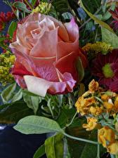 Фотографии Роза Вблизи цветок