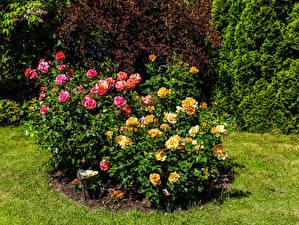 Обои для рабочего стола Роза Кустов цветок