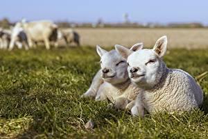 Фото Овцы Детеныши Траве Белая Лежа Боке животное