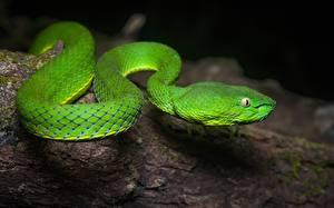 Фото Змея Крупным планом Зеленых Животные