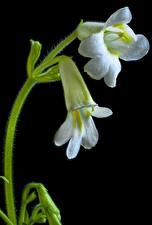 Фотография На черном фоне Белый Streptocarpus цветок