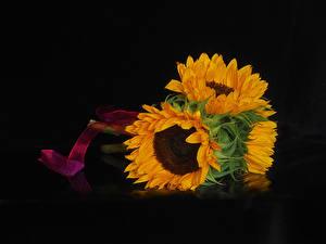 Обои Подсолнечник Вблизи На черном фоне цветок