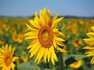 Фотография Подсолнечник Крупным планом Размытый фон Желтая Цветы