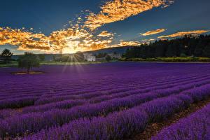 Обои Рассвет и закат Поля Лаванда Лучи света Облачно Природа