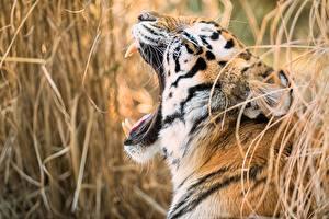 Картинка Тигр Клыки Головы Усы Вибриссы Зевают