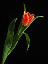 Фото Тюльпан Вблизи На черном фоне Красная цветок