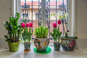Фотографии Тюльпан Орхидея Окна Цветочный горшок