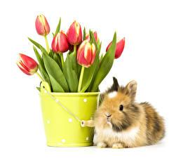 Обои Тюльпаны Кролик Белый фон Ведра животное Цветы