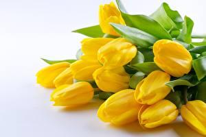 Картинка Тюльпаны Желтая цветок