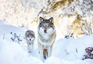 Фотография Волк Зимние Снега 2 животное