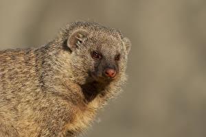 Обои Сером фоне Морды Смотрит Banded Mongoose животное
