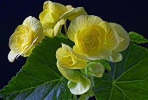 Картинки Бегония Крупным планом Желтый цветок