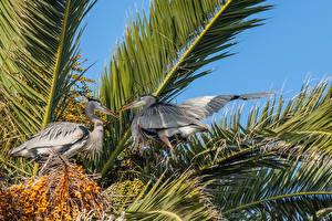 Фотография Птица Цапли Два Клюв Ветвь Great Blue Herons Животные