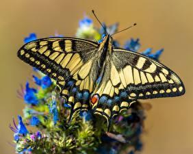 Фотографии Бабочка Крупным планом Papilio machaon животное