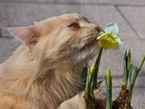 Картинки Коты Нарциссы Морда Животные