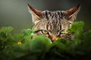 Картинка Коты Смотрит Морды животное