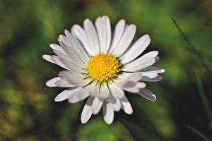 Фотографии Вблизи Ромашка Боке Белая цветок