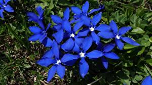 Обои Вблизи Синяя Gentiana цветок