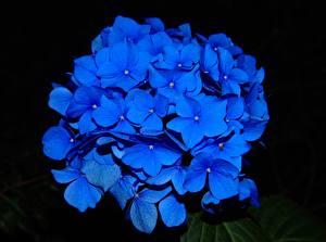 Обои Крупным планом Гортензия На черном фоне Синяя Цветы
