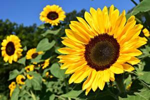 Фотография Крупным планом Подсолнухи Желтая цветок