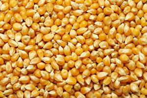Фотографии Кукуруза Много Зерно Пища