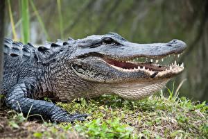 Обои для рабочего стола Крокодил Головы Зубы животное