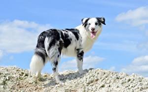 Картинки Собака Австралийская овчарка Смотрит Животные