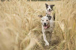 Обои Собаки Поля Колосок Боке животное