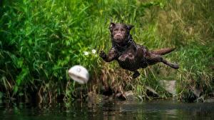 Фотографии Собаки Прыгает Мокрые Летящий Лабрадор-ретривер Животные
