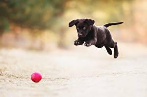 Фотографии Собака Щенки Бежит Черная Прыгает Мячик Играют животное