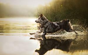Фотографии Собака Вода Бегущая С брызгами Sira животное