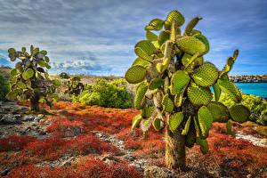 Картинки Эквадор Кактусы HDR Opuntia, South Plaza Island, Galapagos Islands Природа