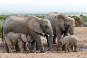 Обои Слон Детеныши Семья животное