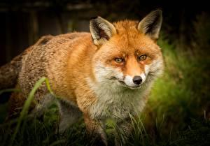 Картинка Лисица Морда Смотрит Рыжие Животные