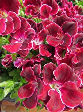 Картинка Журавельник Вблизи Бордовая Pelargonium цветок