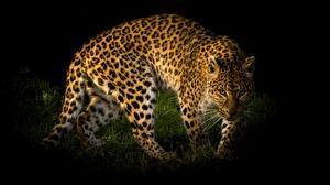 Картинка Леопард Смотрит животное