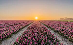 Картинка Голландия Поля Рассветы и закаты Тюльпаны Много Goeree-Overflakkee цветок Природа