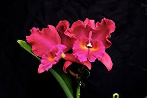 Фото Орхидеи Вблизи На черном фоне Розовый цветок