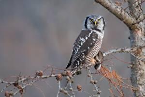 Картинки Совы Птица Смотрит Ветвь northern hawk-owl