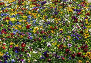 Фотографии Фиалка трёхцветная Много Разноцветные цветок