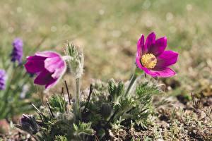 Картинка Прострел Боке Фиолетовые Цветы