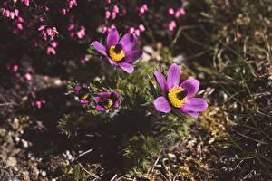 Обои Прострел Размытый фон Фиолетовый цветок
