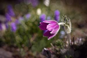 Картинки Прострел Боке Фиолетовая цветок