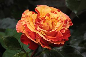 Фотография Роза Вблизи цветок