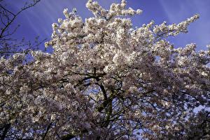 Фотографии Весенние Цветущие деревья Ветки Сакуры Природа